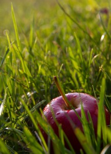 Ripe apples hidden in the grass